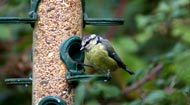 blue tit on perch